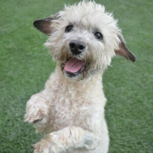 Companion Dog Level 1 for Small Dogs @ Peninsula Humane Society & SPCA